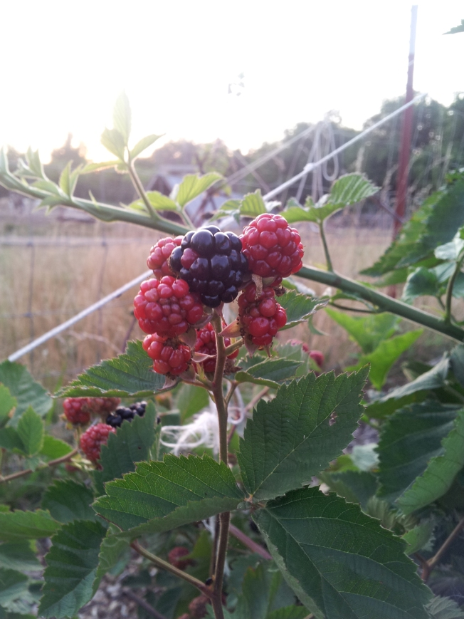 Our Apache Thornless Blackberries are coming right along.